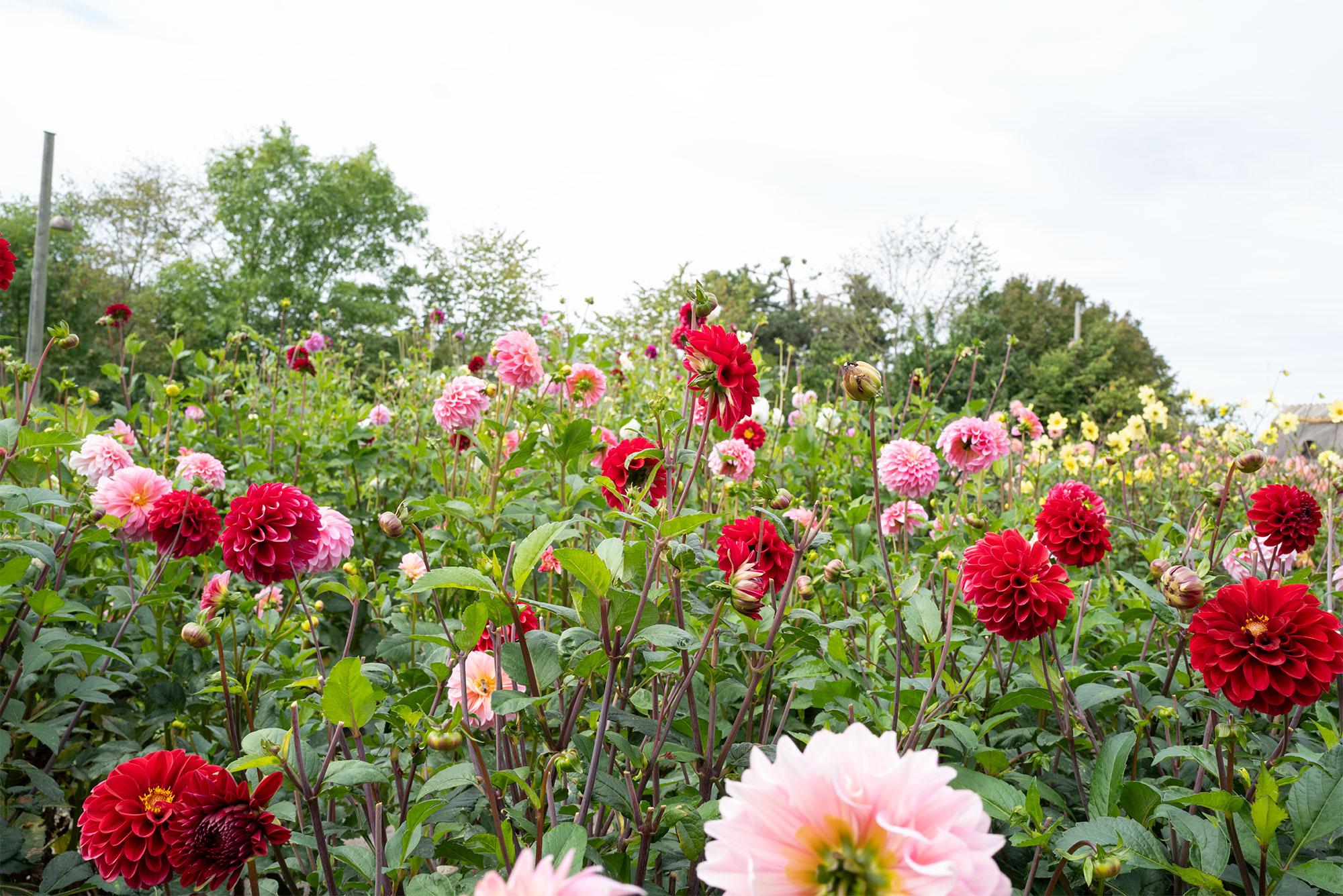 En blomstrende have på Amagermuseet. Arkivfoto: TorbenSender.
